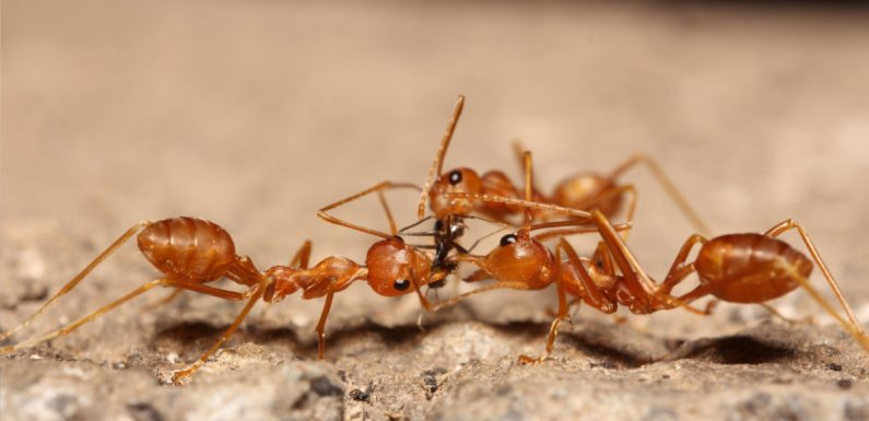 Understanding the Need for Prompt Carpenter Ants Extermination